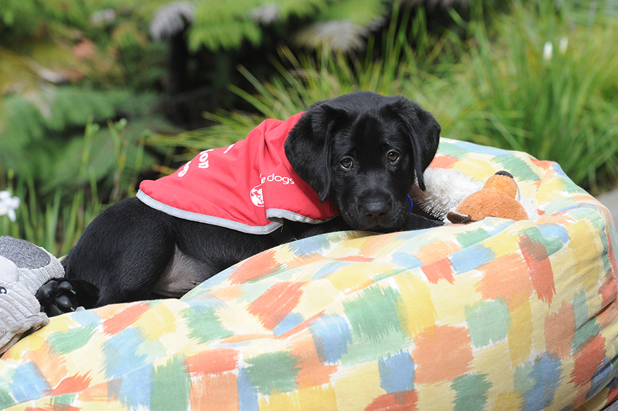 Black Labrador puppy sitting on a bean bag with his toys
