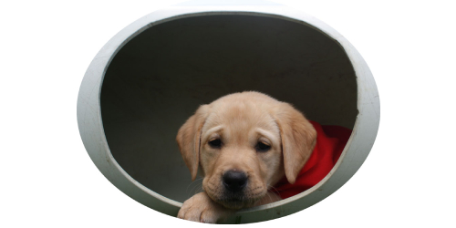 Golden labrador in play tunnel