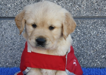 Golden Retriever puppy in red guide dog in training coat