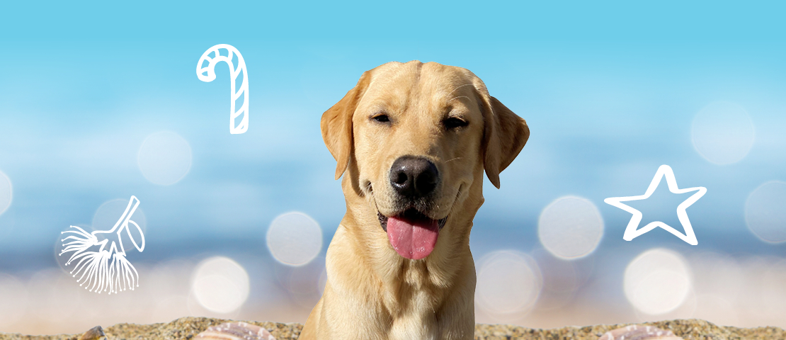 Yellow labrador, Fergus is all smiles at the beach.